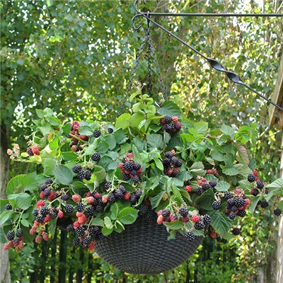 Hanging Basket Blackberry Kit with 2 Black Cascade Plants 2L & Pair of Baskets
