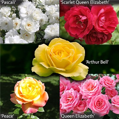 5 Garden Glamour Rose Bushes & 5 Metallic Planters