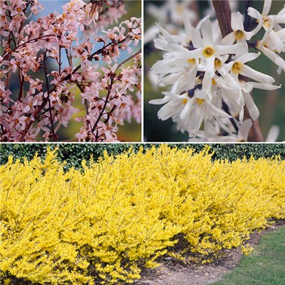 Forsythia Collection in 9cm Pots (3 Colours)