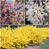 Three Colours of Forsythia collection in 9cm pots