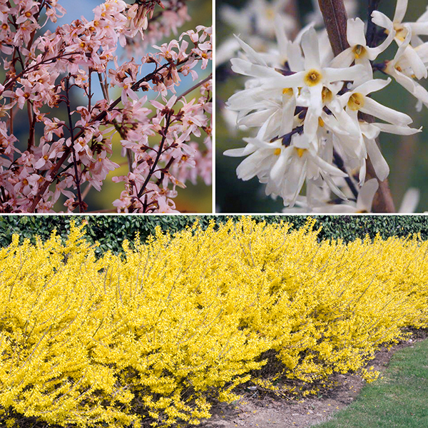 Forsythia Collection in 9cm Pots (3 Colours) No Colour