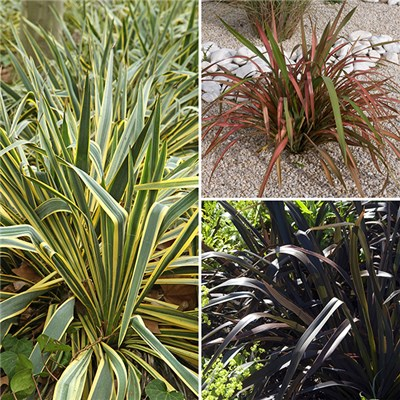 Phormium Collection 3 x 3L Plants