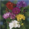 Freesia Bulb collection - 50 singles and 50 doubles