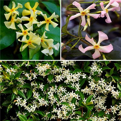 Trachelospermum (Hardy Jasmine) Collection 3 Colours in 9cm Pots