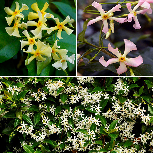 Trachelospermum (Hardy Jasmine) Collection 3 Colours in 9cm Pots No Colour