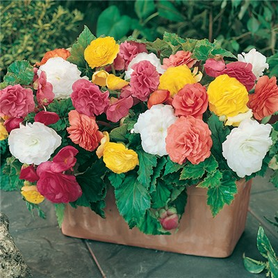 Begonia Non-Stop Upright Mix Tubers (10 Pack)
