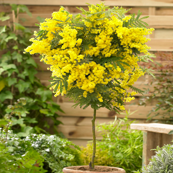 Mimosa (Acacia) Standard Tree 90cm Tall 19cm Pot No Colour