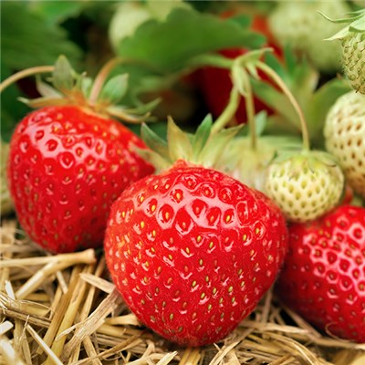 Strawberry Continuity Kit 9cm (6 Pack) and 2 Planters