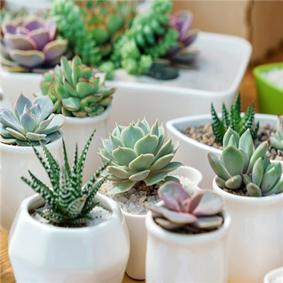 Mixed Succulent Plants (6 Pack)