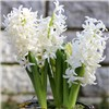 Set of 3 x 15cm potfuls of Flowering Hyacinths in bud 15 bulbs total