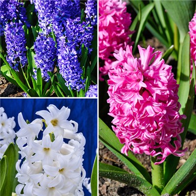 15cm Potfuls of Flowering Hyacinths in Bud (3 Pack) 15 bulbs Total