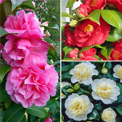 Camellia Collection 3 Colours in 9cm Pots