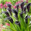 Pack of 3 Black Calla Lily corms