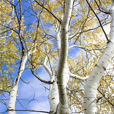 Silver Birch Trees 1M Tall Bare Root (Pair)
