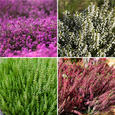 Spring Flowering Heathers 9cm (6 Pack)