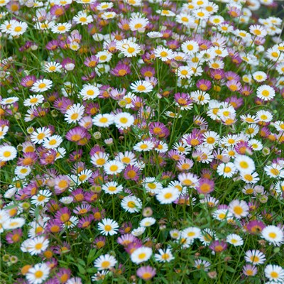 Erigeron Sea of Blossom Jumbo Plugs (6 Pack)