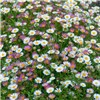 Erigeron Sea of Blossom x 6 jumbo plugs
