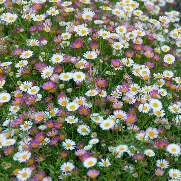 Erigeron Sea of Blossom Jumbo Plugs (6 Pack) No Colour