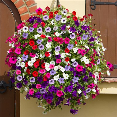 Surfinia Petunia 18 Plants in 6 colours