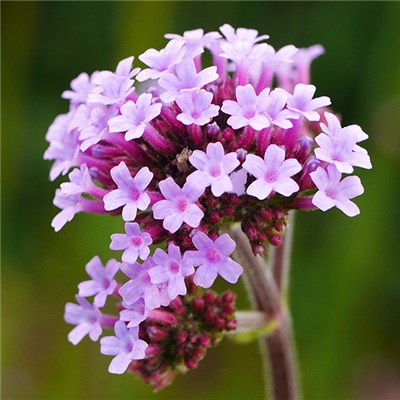 Verbena Bonariensis Lollipop Garden Ready Plants (6 Pack)