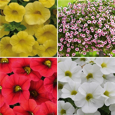 Rosebud Mini Petunia Calita Mix Plugs (12 Pack)