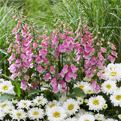 Foxglove Pink Panther 9cm (3 Pack)