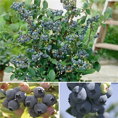 Blueberry Bonanza - 3 Blueberry Plants with 3 x 17cm Torino Planters