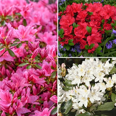 Dwarf Hardy Azalea collection 3 plants i