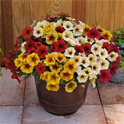 Beautical Weatherproof Petunia Collection (12 Pack)