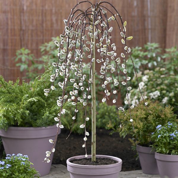 Salix Kilmarnock 70cm standard (Weeping Willow Pair) No Colour