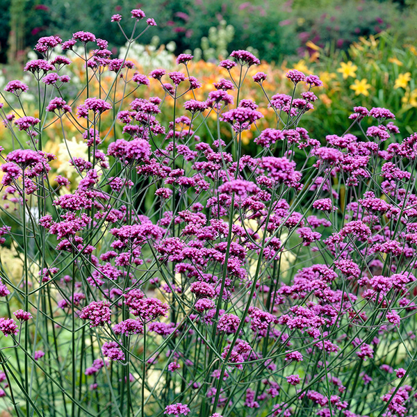 Hardy Verbena Bonariensis Plugs (12 Pack) No Colour