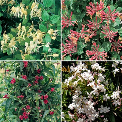 Scented Hardy Climbing Plants x 10 plugs