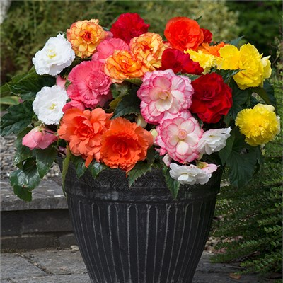 Upright Begonia Majestic XXL x 12 Plugs