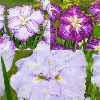 New DinnerPlate Hardy Iris