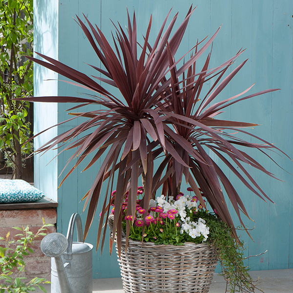 Pair 70cm Cordyline Red Star with Helix Planter 10 Inch No Colour