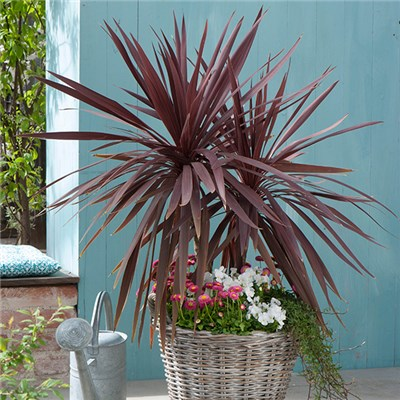 Pair 70cm Cordyline Red Star with Helix Planter 10 Inch