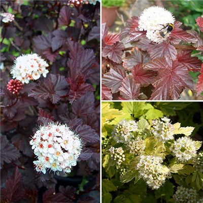 Physocarpus Plant Collection - 9cm