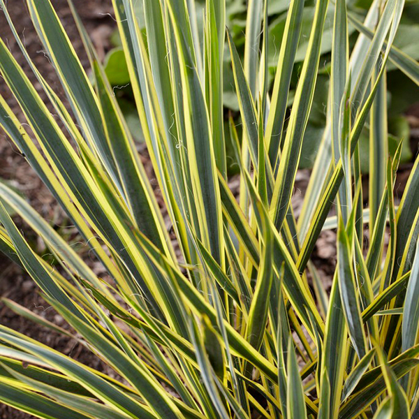 Yucca Filamentosa Bright Edge - 2L No Colour