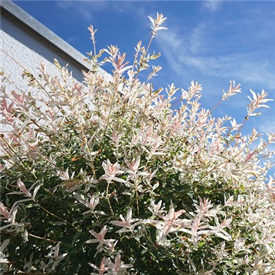 Salix Flamingo bush 3L
