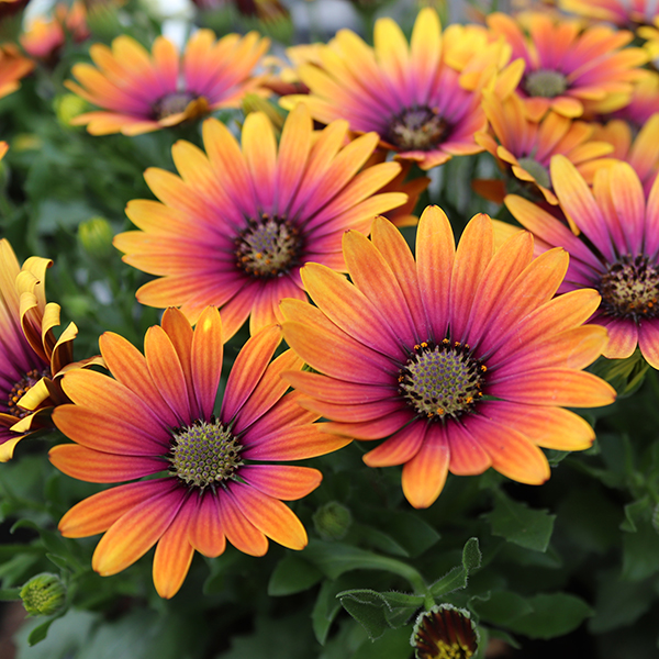 African Daisy Osteospurmum 'Purple Sun' - 10.5cm Pots No Colour
