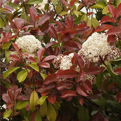 Photinia Fraseri Carre Rouge 2L (Pair)