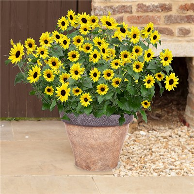 Pair of Helianthus Sunblast 17cm Pots