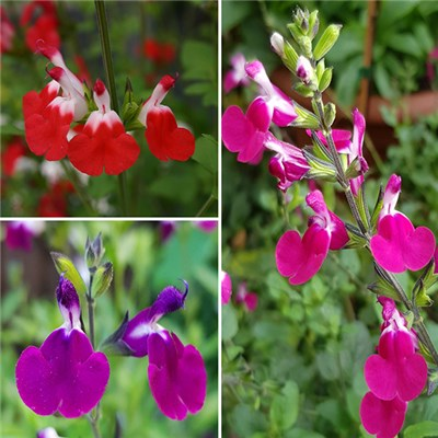 Salvia Lips Collection 9cm (3 Pack)