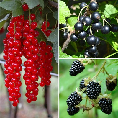 Fruit Collection - Redcurrant, Blackcurrant and Blackberry 2L Pots