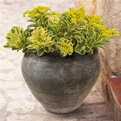 Sedum Atlantis Pack of 3 x 9cm