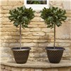Pair of Standard Bay Trees 70-80cm tall