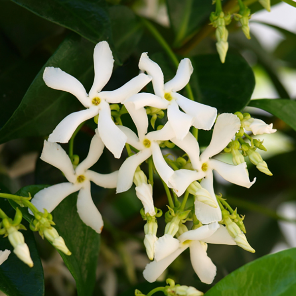 Pair Trachelospermum Jasminoides - 1M Tall No Colour