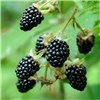 Pair of Thornless Blackberry 2L