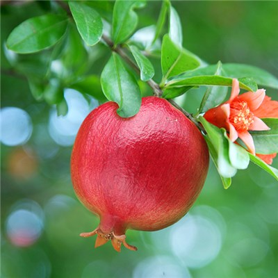 Pomegranate15cm bush