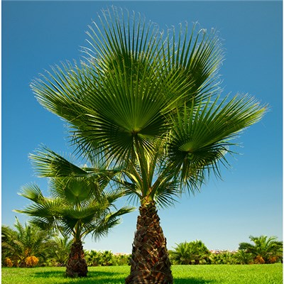 Premium Hardy Cotton Palm (Washingtonia) 80-100cm 10L pot